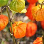 緑とオレンジのほおずき