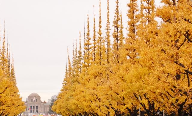 黄色く色付いた神宮外苑のいちょう並木