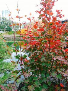 目白庭園 紅く染まる