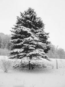 もみの木 クリスマスツリー