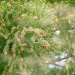杉、スギ花粉が散る様子