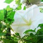 夕方から午前中にかけて咲く白い夕顔の花